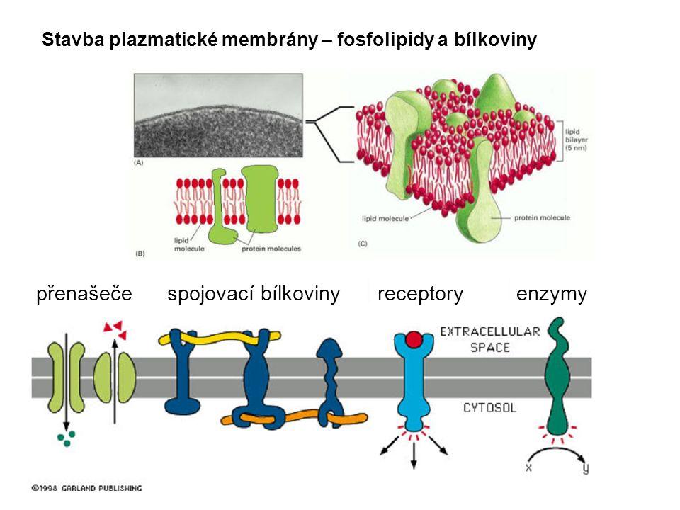 Stavba plazmatické membrány – fosfolipidy a bílkoviny přenašečespojovací bílkoviny receptoryenzymy