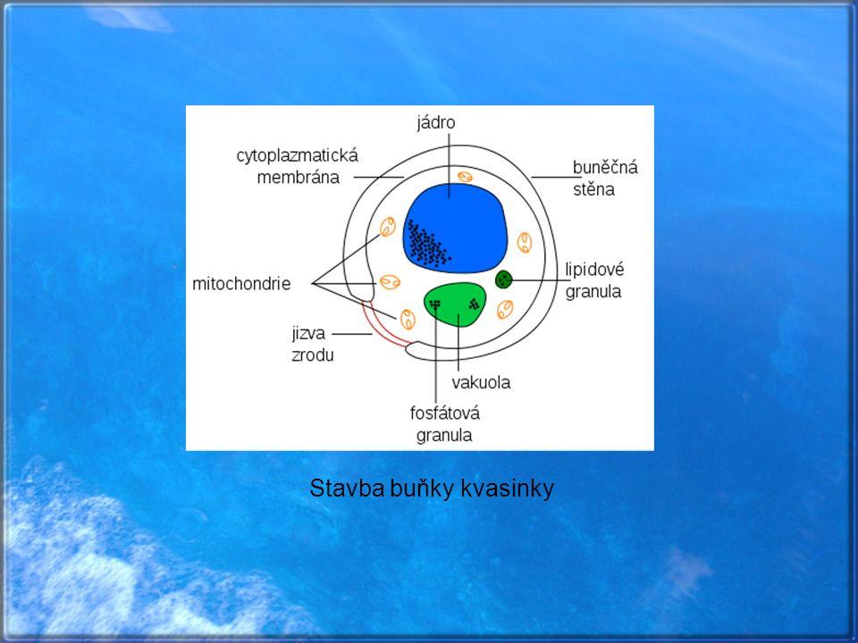  kvasinky se rozmnožují zvláštním typem buněčného dělení, tzv.