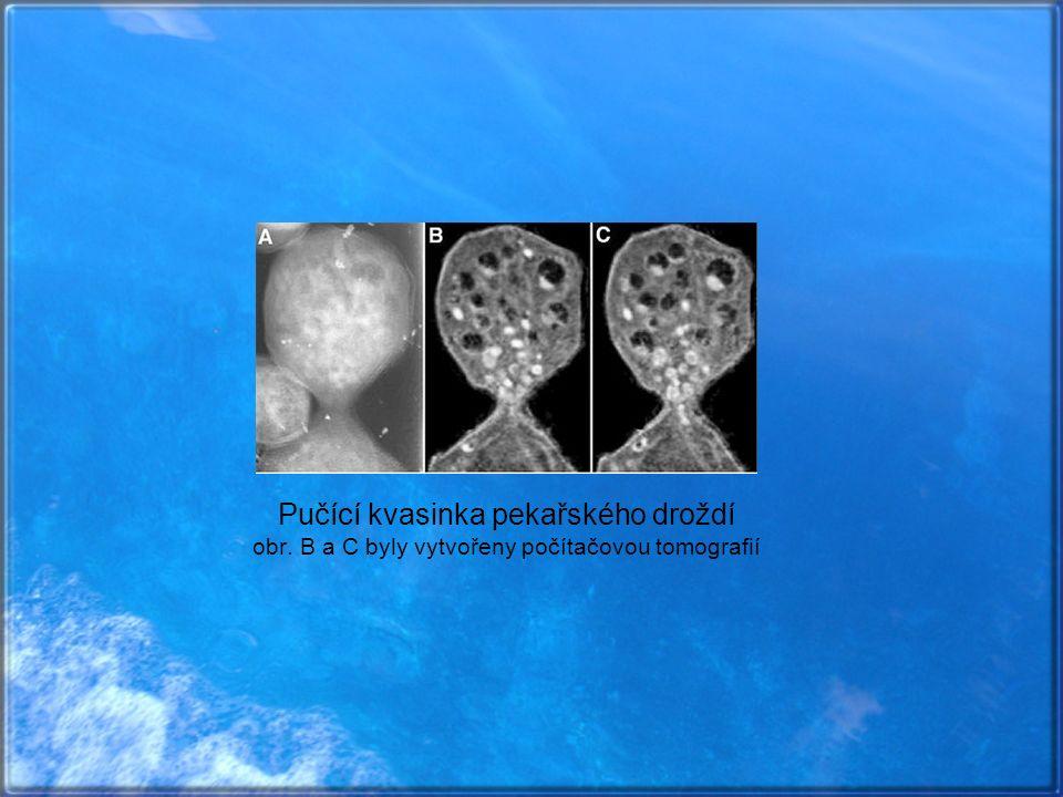 Pučící kvasinka pekařského droždí obr. B a C byly vytvořeny počítačovou tomografií