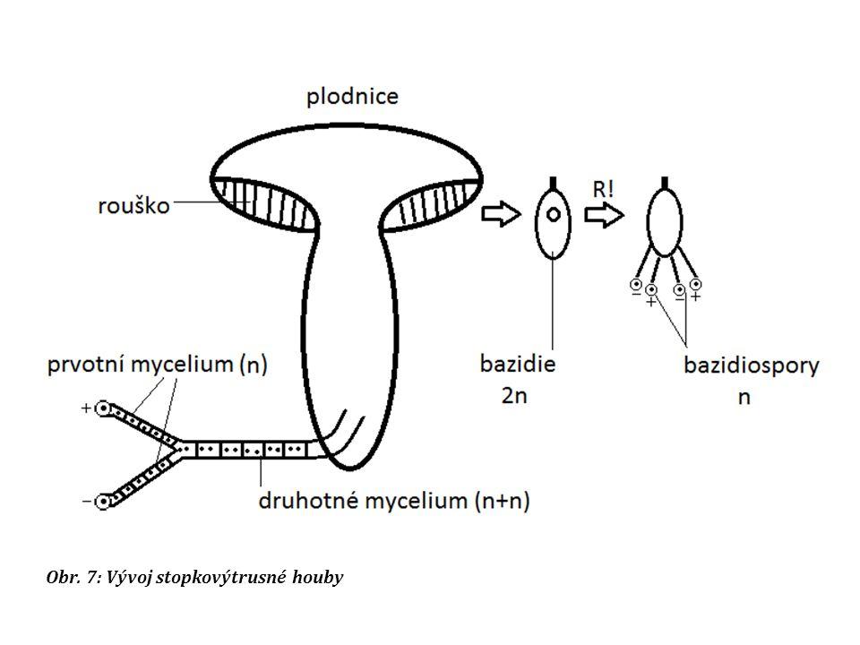 Obr. 7: Vývoj stopkovýtrusné houby