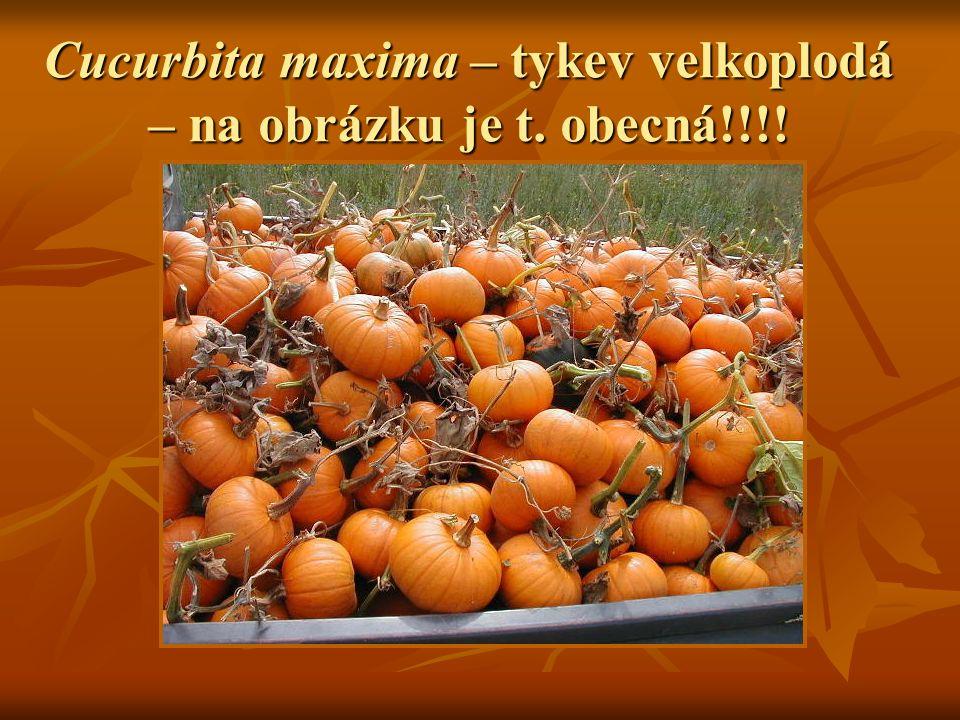 Cucurbita maxima – tykev velkoplodá – na obrázku je t. obecná!!!!