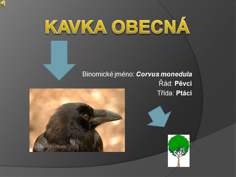 Binomické jméno: Corvus monedula Řád: Pěvci Třída: Ptáci