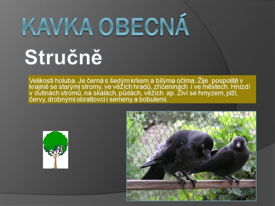 Kavka obecná  Kavka obecná je nejmenší zástupce rodu Corvus.
