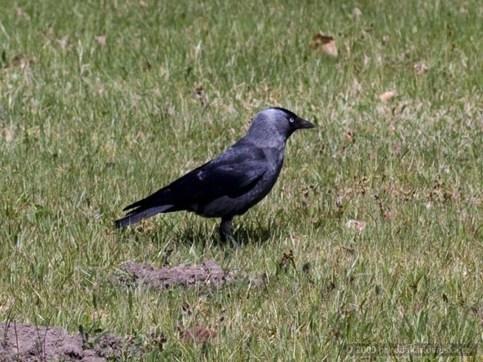 Kavka Obecná (corvus monedula) Kavky obývají zalesněné stepi, lesy, kulturní krajinu, pastviny, města i pobřežní oblasti. Jsou monogamní a velmi spole