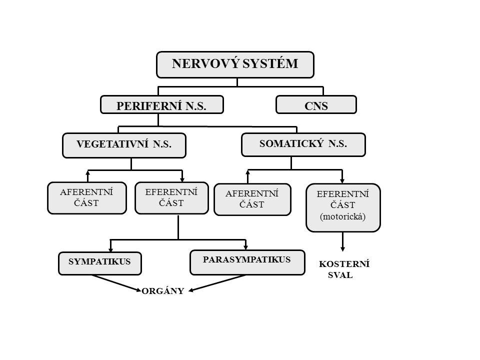 ANS - obecně Funkce bez kontroly vůlí Sympatická a parasympatická část – Většinou protichůdná akce ve tkáních Srdce, GIT – Výjimky - Slinné žlázy, metabolické funkce – Orgány pouze se sympatickou inervací dřeň nadledvin, ledviny, pilomotorické svaly, potní žlázy Sympatikus – útěk obrana – ergotrofický – mobilizace energie – Aktivace jako celek Parasympatikus – Odpočinek zažívání – trofotrofický – ukládání energie – Selektivní aktivace dle tkání – vetšinou dominuje GIT – Pl.