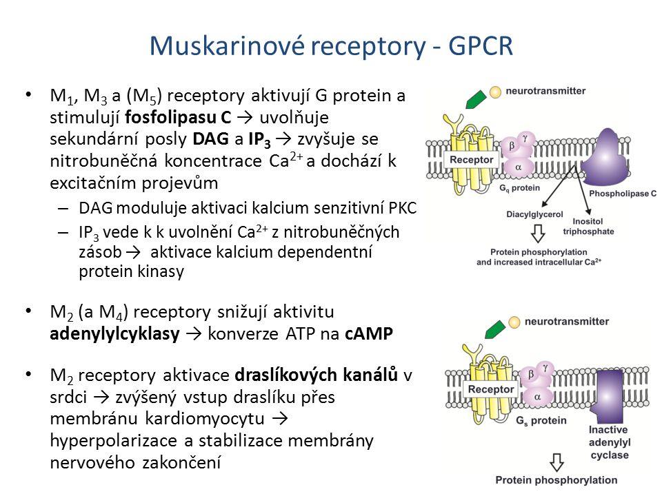 M 1, M 3 a (M 5 ) receptory aktivují G protein a stimulují fosfolipasu C → uvolňuje sekundární posly DAG a IP 3 → zvyšuje se nitrobuněčná koncentrace Ca 2+ a dochází k excitačním projevům – DAG moduluje aktivaci kalcium senzitivní PKC – IP 3 vede k k uvolnění Ca 2+ z nitrobuněčných zásob → aktivace kalcium dependentní protein kinasy M 2 (a M 4 ) receptory snižují aktivitu adenylylcyklasy → konverze ATP na cAMP M 2 receptory aktivace draslíkových kanálů v srdci → zvýšený vstup draslíku přes membránu kardiomyocytu → hyperpolarizace a stabilizace membrány nervového zakončení Muskarinové receptory - GPCR