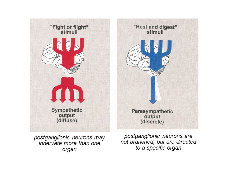 postganglionic neurons may innervate more than one organ postganglionic neurons are not branched, but are directed to a specific organ