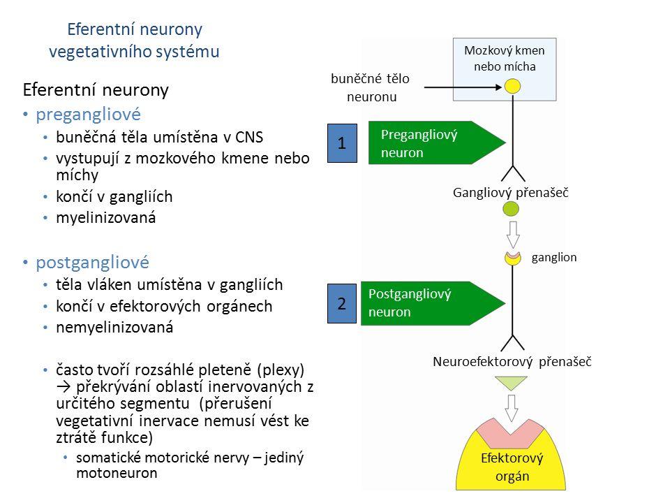 Eferentní neurony vegetativního systému Mozkový kmen nebo mícha buněčné tělo neuronu Gangliový přenašeč Neuroefektorový přenašeč Pregangliový neuron Postgangliový neuron 1 2 Efektorový orgán ganglion Eferentní neurony pregangliové buněčná těla umístěna v CNS vystupují z mozkového kmene nebo míchy končí v gangliích myelinizovaná postgangliové těla vláken umístěna v gangliích končí v efektorových orgánech nemyelinizovaná často tvoří rozsáhlé pleteně (plexy) → překrývání oblastí inervovaných z určitého segmentu (přerušení vegetativní inervace nemusí vést ke ztrátě funkce) somatické motorické nervy – jediný motoneuron