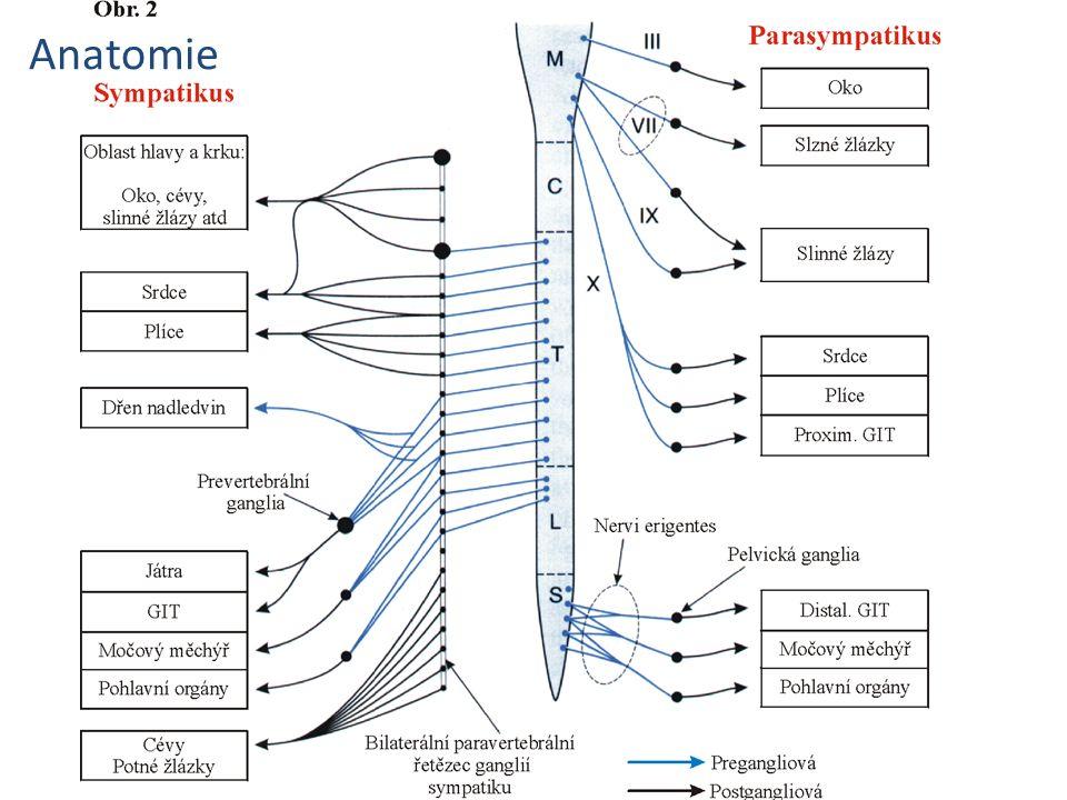 Vegetativní nervový systém eferentní neurony Parasympatický systém – pregangliová vlákna opouští prodlouženou míchu s hlavovými nervy (III, VII, IX a X) a v křížové oblasti (2.