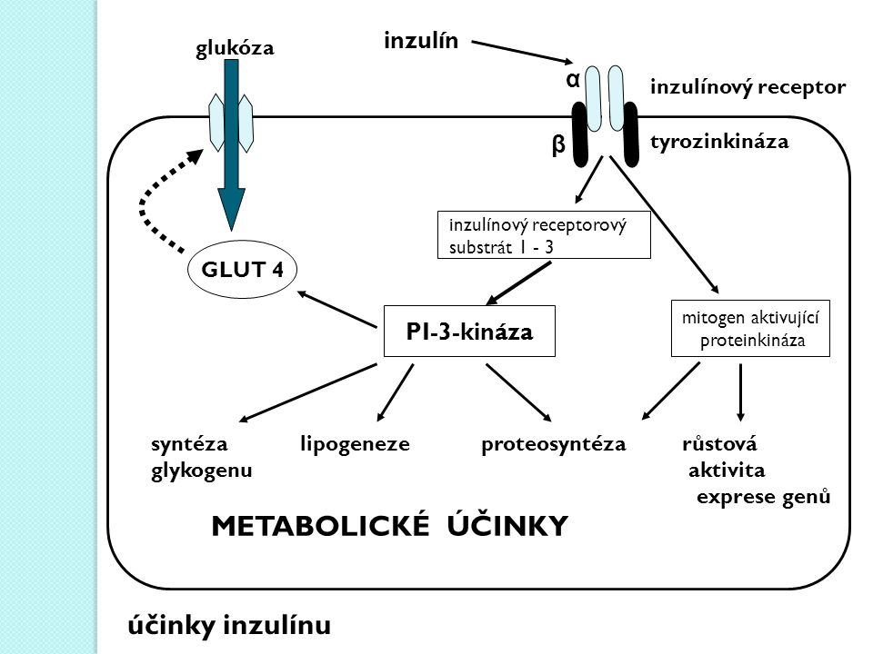 inzulín glukóza PI-3-kináza mitogen aktivující proteinkináza GLUT 4 syntéza lipogeneze proteosyntéza růstová glykogenu aktivita exprese genů METABOLICKÉ ÚČINKY α β tyrozinkináza inzulínový receptor inzulínový receptorový substrát 1 - 3 účinky inzulínu