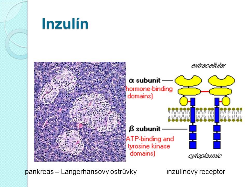 Homeostáza glukózy Inzulín snižuje glykémii (ano, ale...) Inzulín umožňuje metabolizmus glukózy v buňkách (ano, ale...) Inzulín účinkuje přes inzulínový receptor (transmembránová tyrozinkináza) Klíčovým momentem postreceptorových událostí (komplikovaná kaskáda) je translokace glukózového transportéru GLUT4 do membrány svalových a tukových buněk