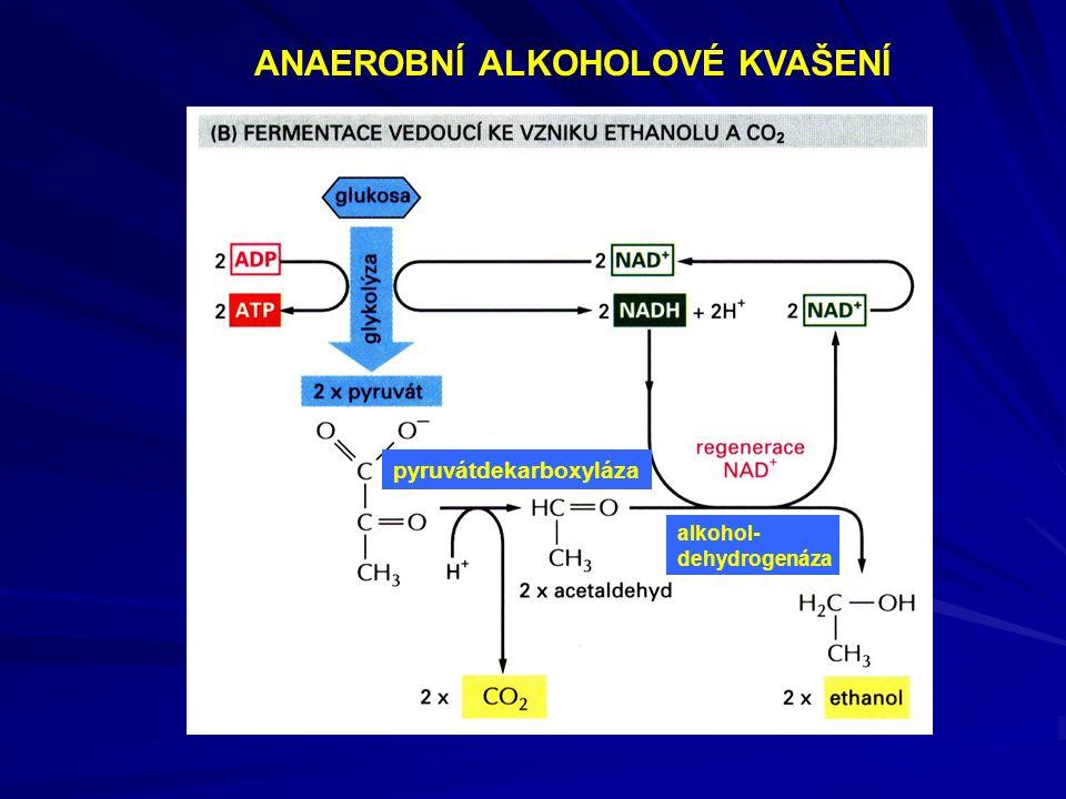 ANAEROBNÍ ALKOHOLOVÉ KVAŠENÍ pyruvátdekarboxyláza alkohol- dehydrogenáza
