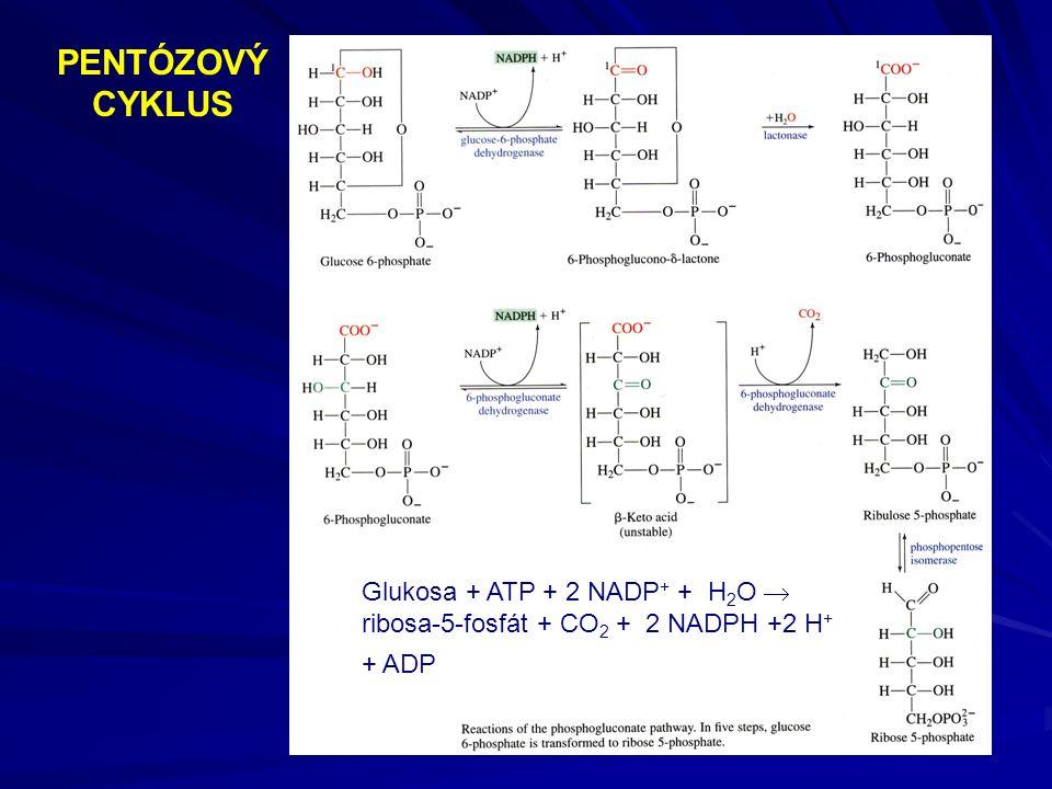PENTÓZOVÝ CYKLUS Glukosa + ATP + 2 NADP + + H 2 O  ribosa-5-fosfát + CO 2 + 2 NADPH +2 H + + ADP