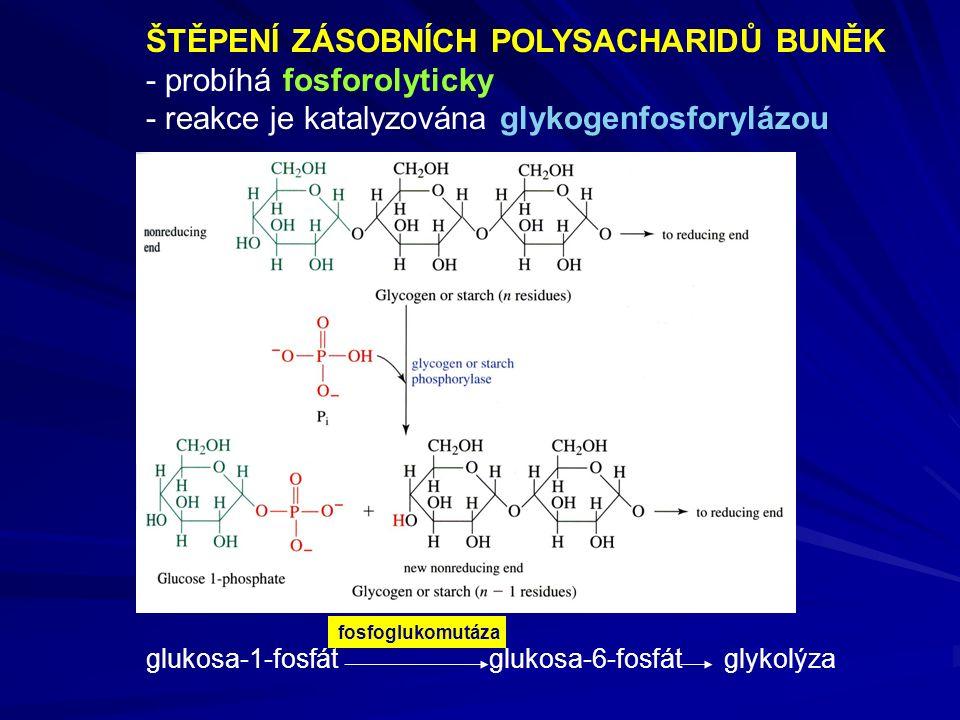 ŠTĚPENÍ ZÁSOBNÍCH POLYSACHARIDŮ BUNĚK - probíhá fosforolyticky - reakce je katalyzována glykogenfosforylázou glukosa-1-fosfát glukosa-6-fosfát glykolýza fosfoglukomutáza