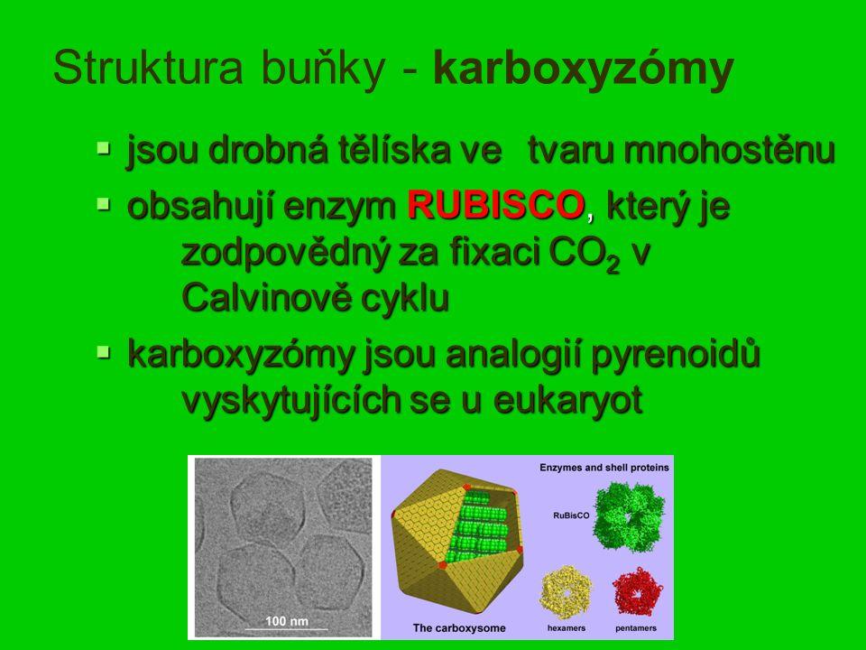 Struktura buňky - karboxyzómy  jsou drobná tělíska ve tvaru mnohostěnu  obsahují enzym RUBISCO, který je zodpovědný za fixaci CO 2 v Calvinově cyklu  karboxyzómy jsou analogií pyrenoidů vyskytujících se u eukaryot