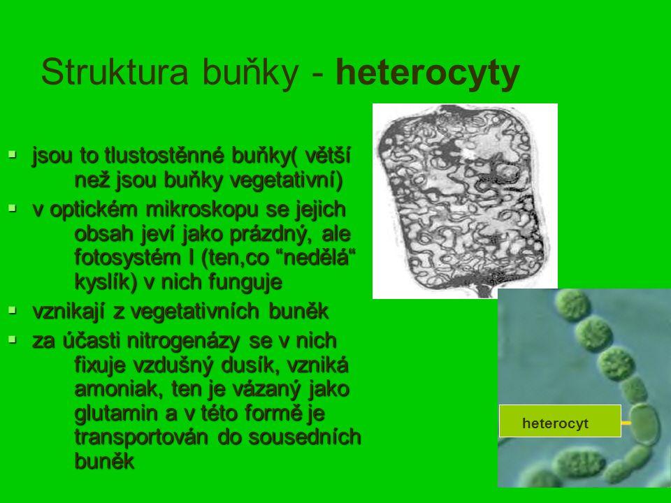 Struktura buňky - heterocyty  jsou to tlustostěnné buňky( větší než jsou buňky vegetativní)  v optickém mikroskopu se jejich obsah jeví jako prázdný, ale fotosystém I (ten,co nedělá kyslík) v nich funguje  vznikají z vegetativních buněk  za účasti nitrogenázy se v nich fixuje vzdušný dusík, vzniká amoniak, ten je vázaný jako glutamin a v této formě je transportován do sousedních buněk heterocyt