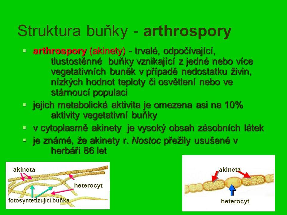 Struktura buňky - arthrospory  arthrospory (akinety) - trvalé, odpočívající, tlustostěnné buňky vznikající z jedné nebo více vegetativních buněk v případě nedostatku živin, nízkých hodnot teploty či osvětlení nebo ve stárnoucí populaci  jejich metabolická aktivita je omezena asi na 10% aktivity vegetativní buňky  v cytoplasmě akinety je vysoký obsah zásobních látek  je známé, že akinety r.