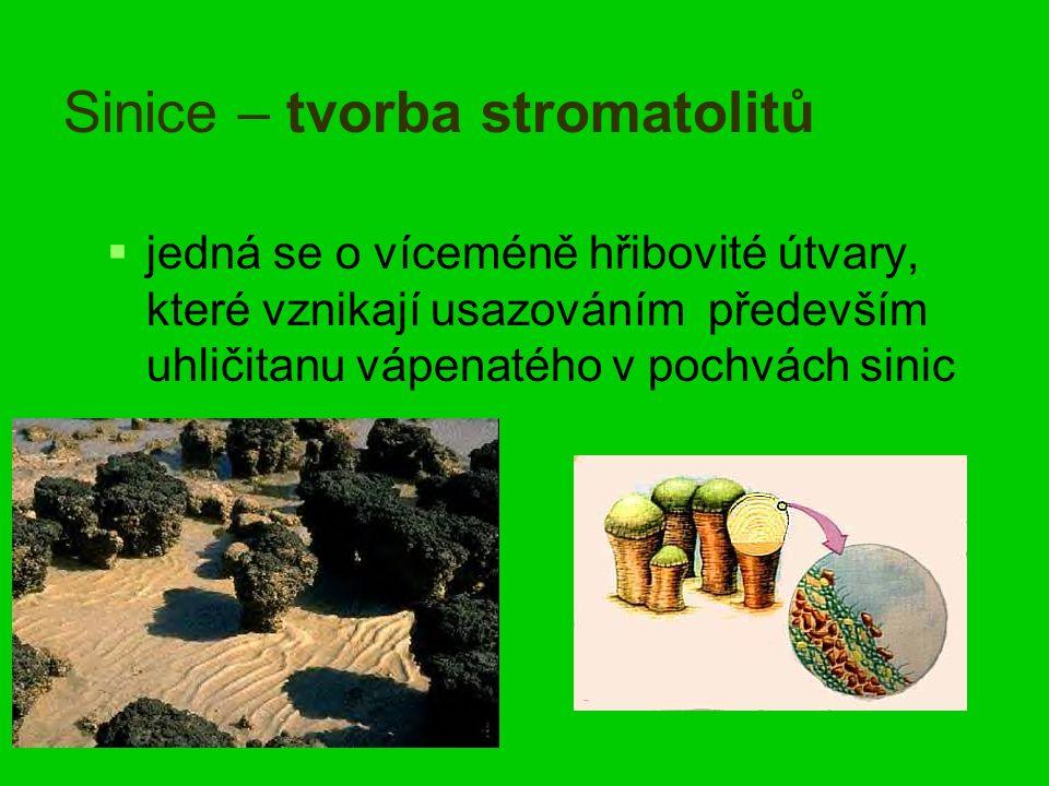 Sinice – tvorba stromatolitů   jedná se o víceméně hřibovité útvary, které vznikají usazováním především uhličitanu vápenatého v pochvách sinic