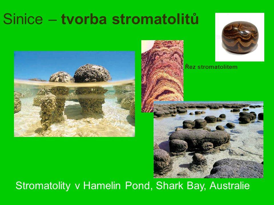 Sinice – tvorba stromatolitů Stromatolity v Hamelin Pond, Shark Bay, Australie Řez stromatolitem