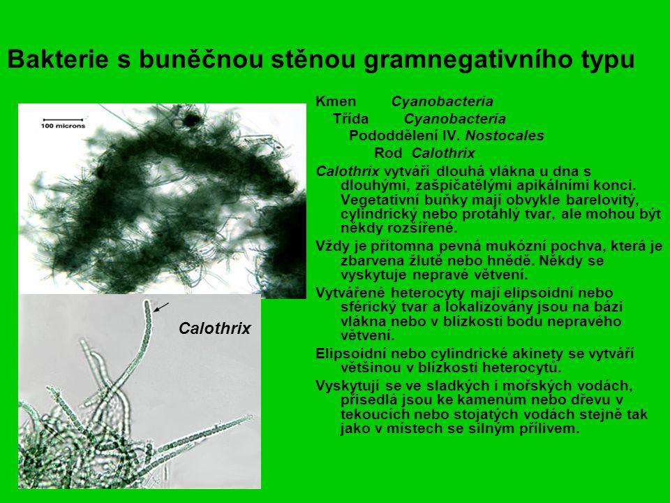 Bakterie s buněčnou stěnou gramnegativního typu Kmen Cyanobacteria Třída Cyanobacteria Pododdělení IV.