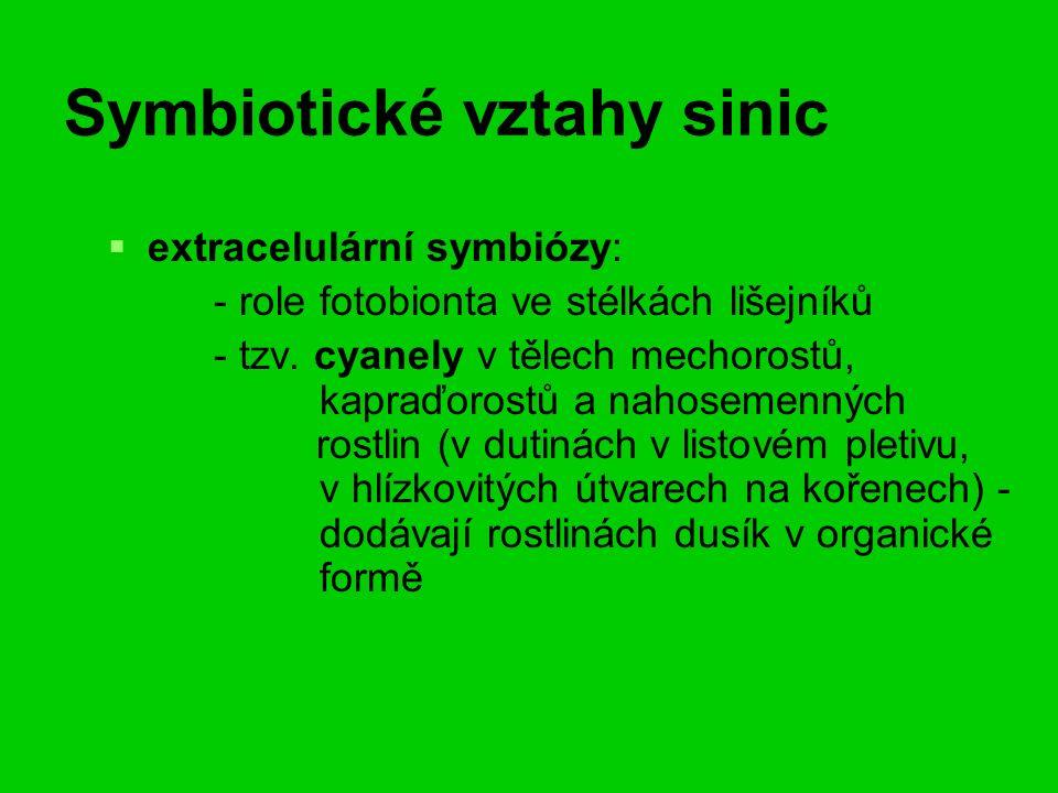 Symbiotické vztahy sinic   extracelulární symbiózy: - role fotobionta ve stélkách lišejníků - tzv.