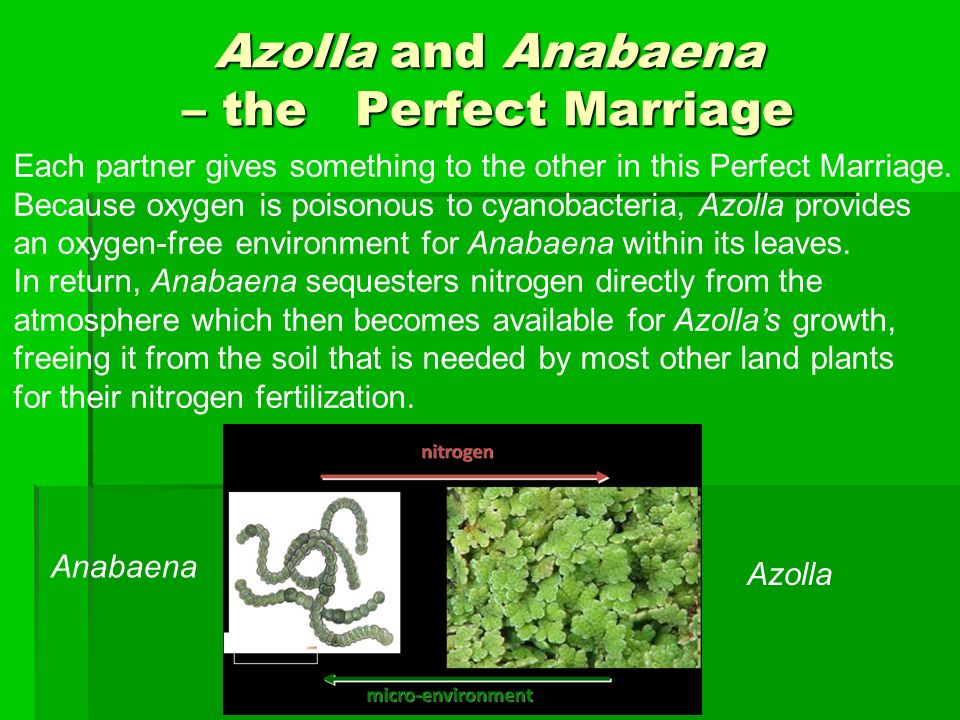 Azolla and Anabaena – the Perfect Marriage Each partner gives something to the other in this Perfect Marriage.