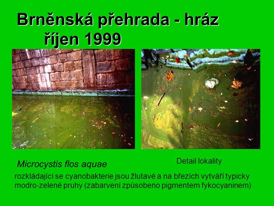 Brněnská přehrada - hráz říjen 1999 Microcystis flos aquae Detail lokality rozkládající se cyanobakterie jsou žlutavé a na březích vytváří typicky modro-zelené pruhy (zabarvení způsobeno pigmentem fykocyaninem)
