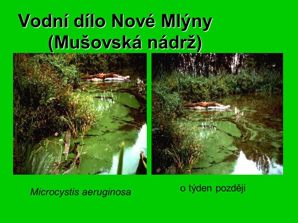 Vodní dílo Nové Mlýny (Mušovská nádrž) Vodní dílo Nové Mlýny (Mušovská nádrž) Microcystis aeruginosa o týden později