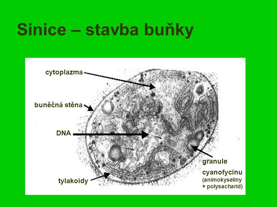 Sinice – stavba buňky buněčná stěna cytoplazma DNA tylakoidy granule cyanofycinu (animokyseliny + polysacharid)