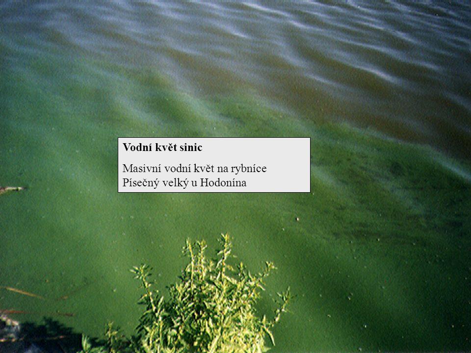 Vodní květ sinic Masivní vodní květ na rybníce Písečný velký u Hodonína