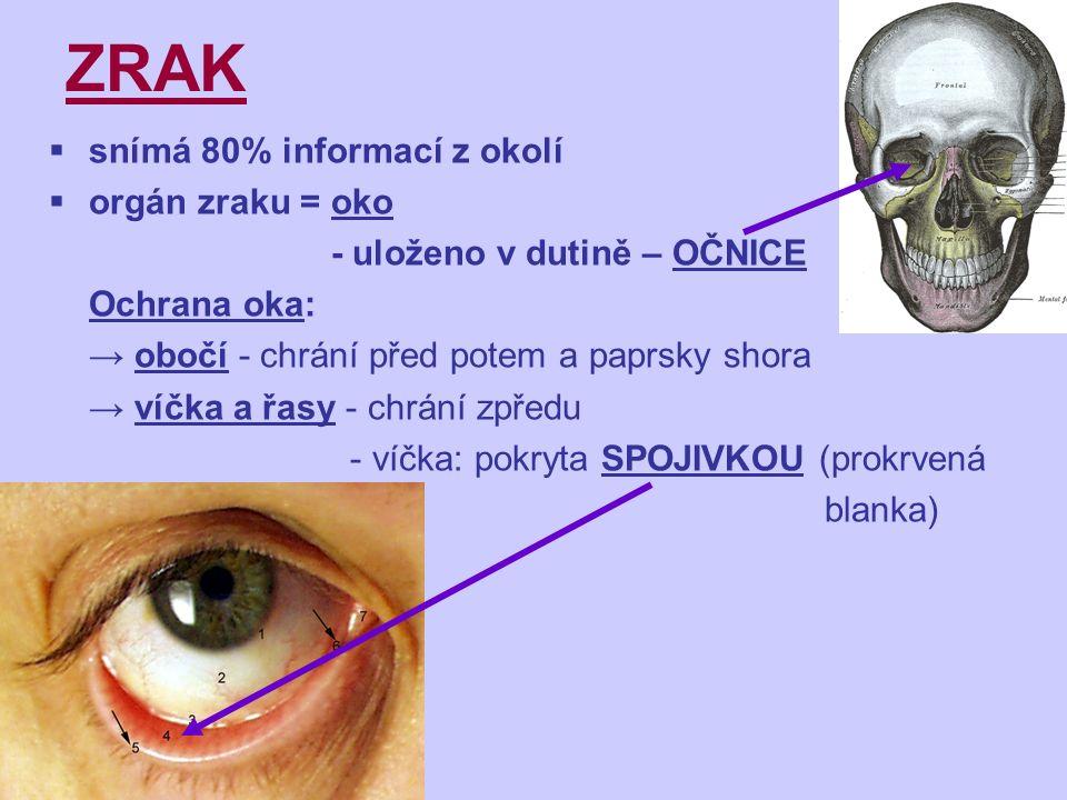 ZRAK  snímá 80% informací z okolí  orgán zraku = oko - uloženo v dutině – OČNICE Ochrana oka: → obočí - chrání před potem a paprsky shora → víčka a řasy - chrání zpředu - víčka: pokryta SPOJIVKOU (prokrvená blanka)