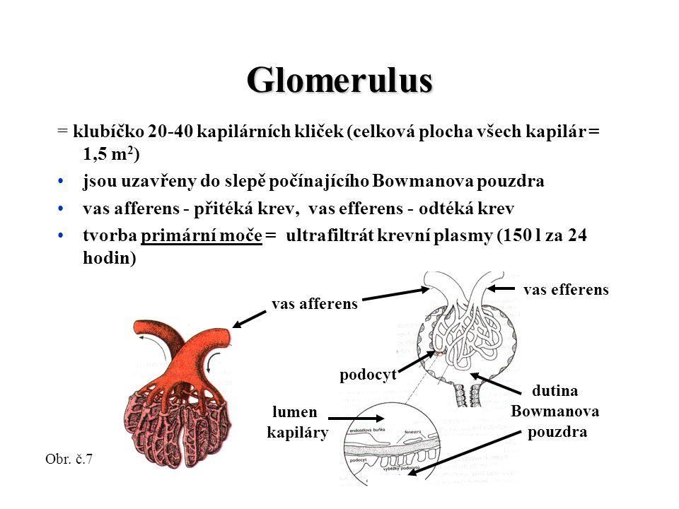 Glomerulus = klubíčko 20-40 kapilárních kliček (celková plocha všech kapilár = 1,5 m 2 ) jsou uzavřeny do slepě počínajícího Bowmanova pouzdra vas afferens - přitéká krev, vas efferens - odtéká krev tvorba primární moče = ultrafiltrát krevní plasmy (150 l za 24 hodin) vas afferens vas efferens dutina Bowmanova pouzdra podocyt lumen kapiláry Obr.