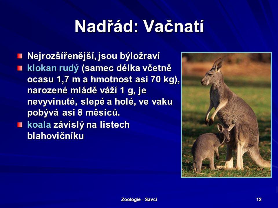 Zoologie - Savci 12 Nadřád: Vačnatí Nejrozšířenější, jsou býložraví klokan rudý (samec délka včetně ocasu 1,7 m a hmotnost asi 70 kg), narozené mládě váží 1 g, je nevyvinuté, slepé a holé, ve vaku pobývá asi 8 měsíců.
