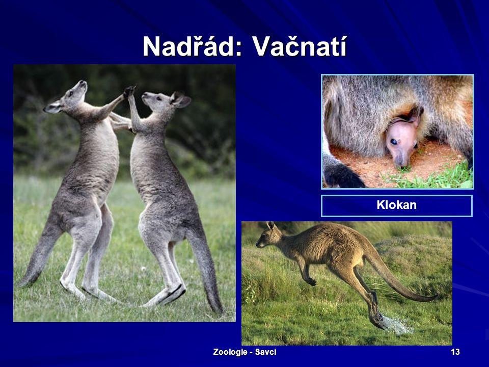 Zoologie - Savci 13 Nadřád: Vačnatí Klokan