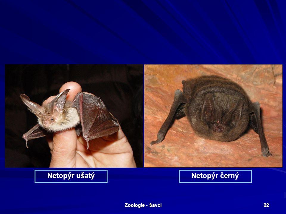 Zoologie - Savci 22 Netopýr ušatýNetopýr černý