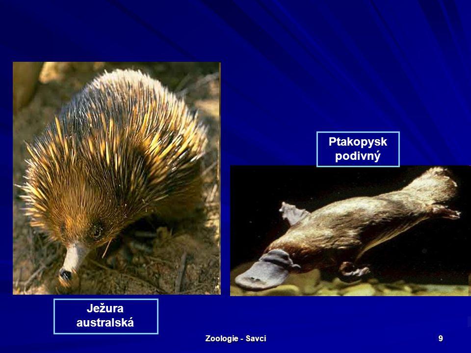 Zoologie - Savci 10 Nadřád: Vačnatí vačice oposum (asi 40 cm) - výskyt Severní a Střední Amerika, Mláďata jsou ve vaku déle než 2 měsíce, odrostlejší nosí samice na zádech,