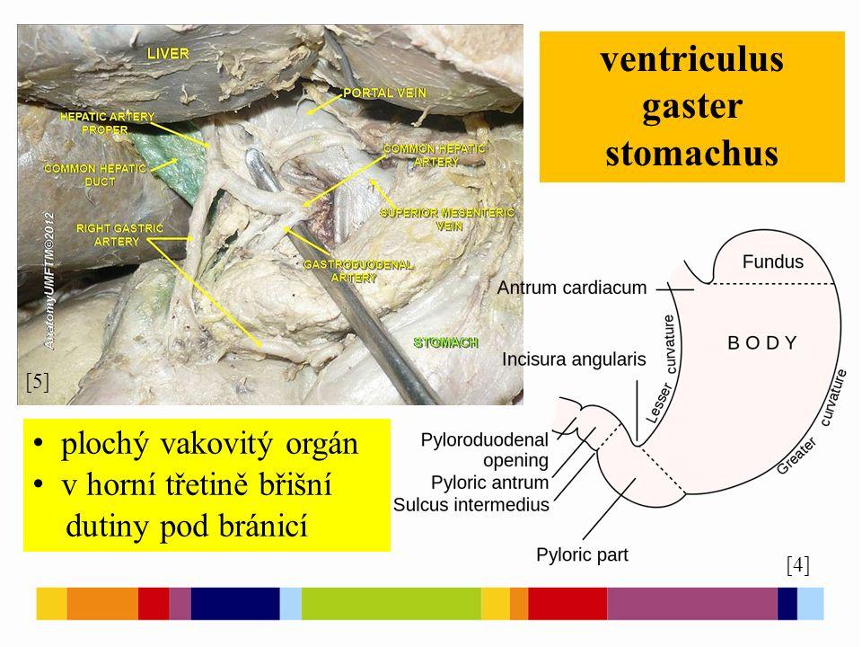 [4] [5] ventriculus gaster stomachus plochý vakovitý orgán v horní třetině břišní dutiny pod bránicí