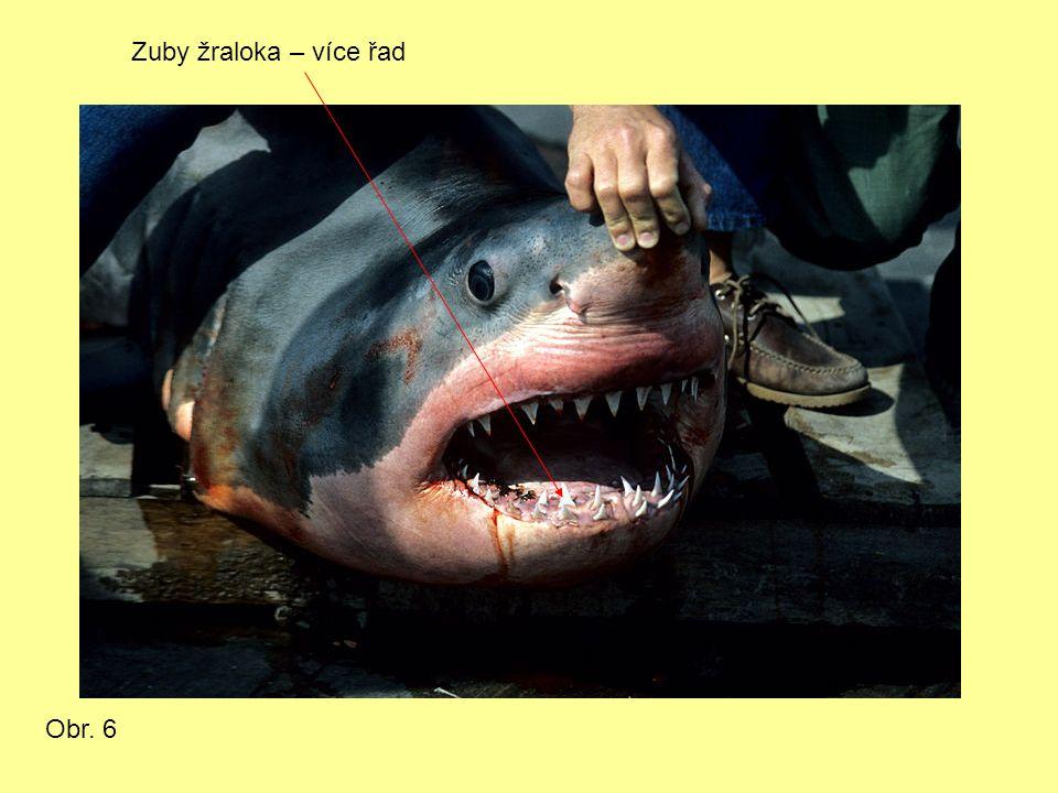 Zuby žraloka – více řad Obr. 6
