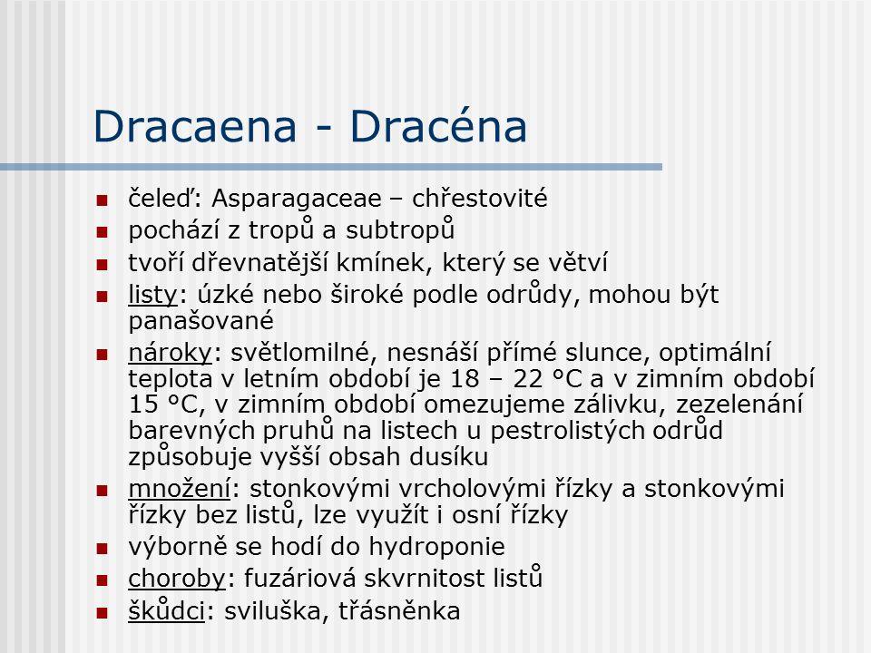 Dracaena - Dracéna