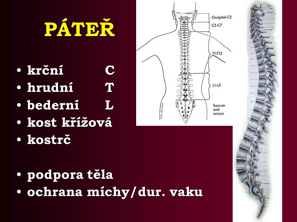 krčníC krčníC hrudníT hrudníT bederníL bederníL kost křížová kost křížová kostrč kostrč podpora těla podpora těla ochrana míchy/dur.