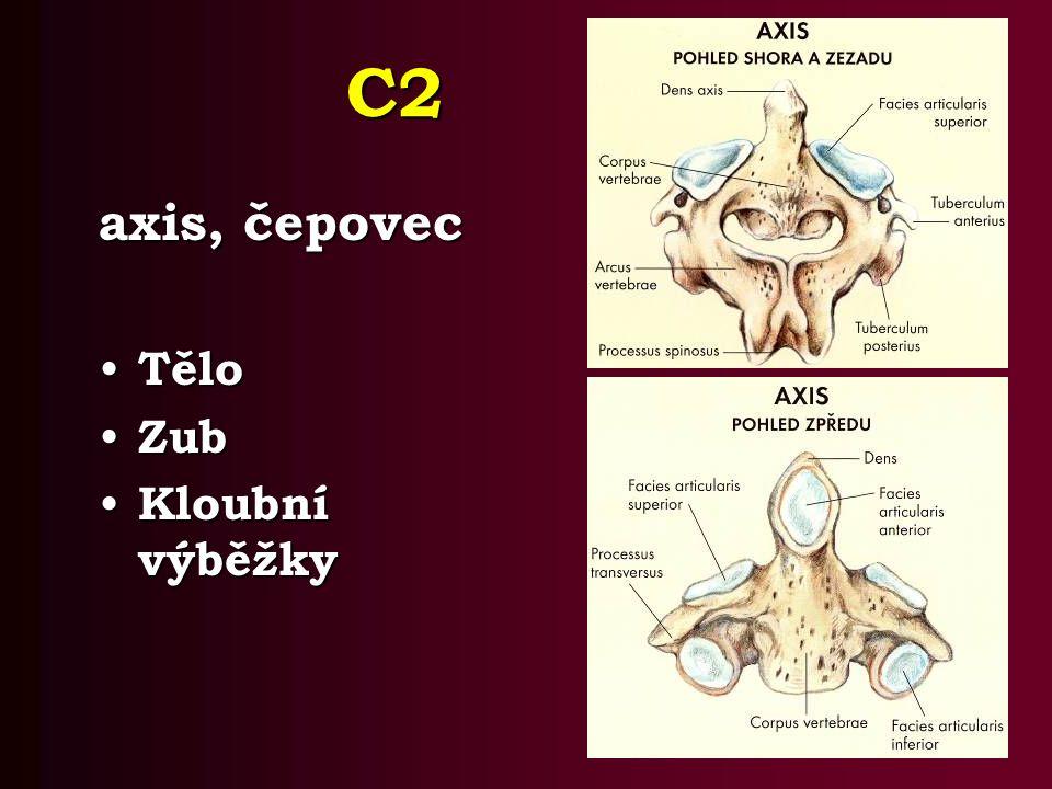 C2 axis, čepovec Tělo Tělo Zub Zub Kloubní výběžky Kloubní výběžky