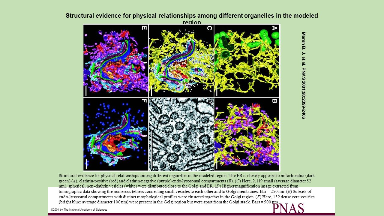 Structural evidence for physical relationships among different organelles in the modeled region Marsh B. J. et.al. PNAS 2001;98:2399-2406 ©2001 by The