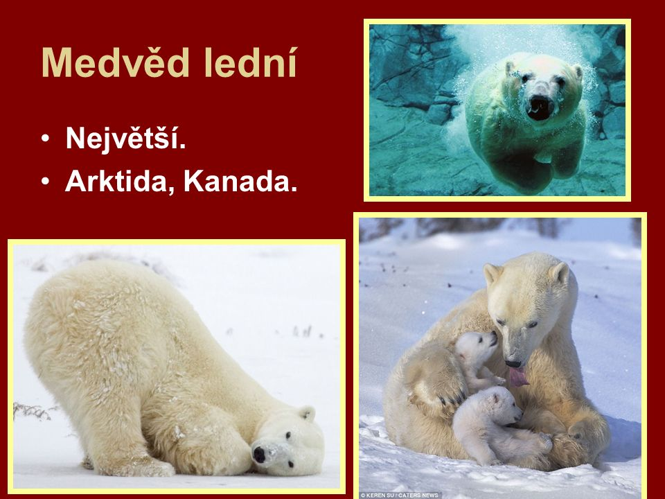 Medvěd lední Největší. Arktida, Kanada.