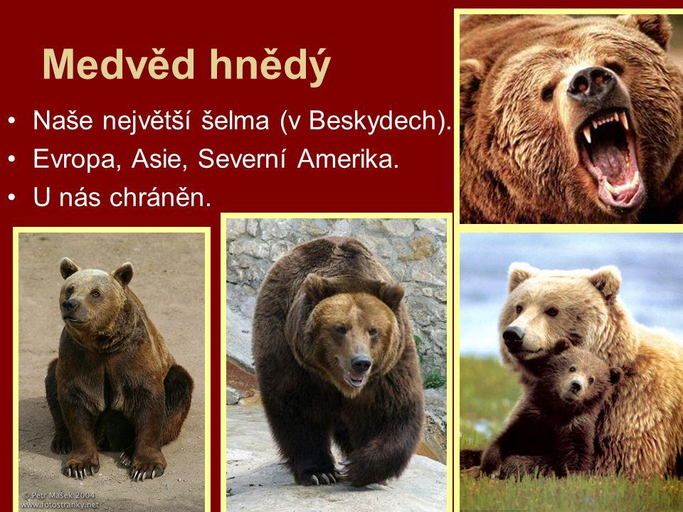 Medvěd hnědý Naše největší šelma (v Beskydech). Evropa, Asie, Severní Amerika. U nás chráněn.
