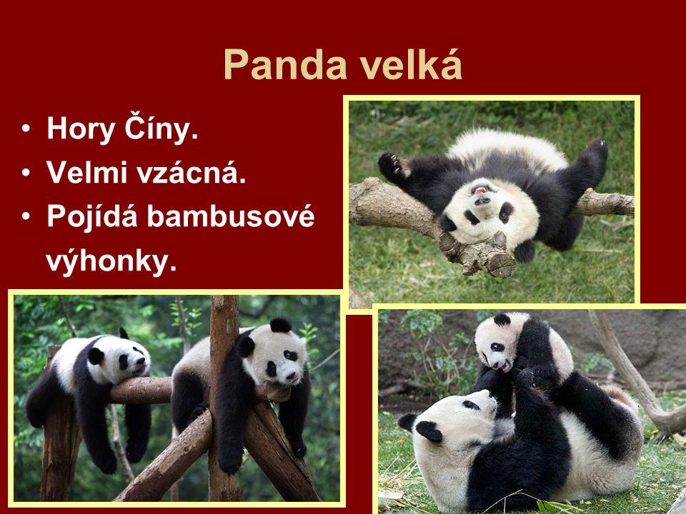 Panda velká Hory Číny. Velmi vzácná. Pojídá bambusové výhonky.