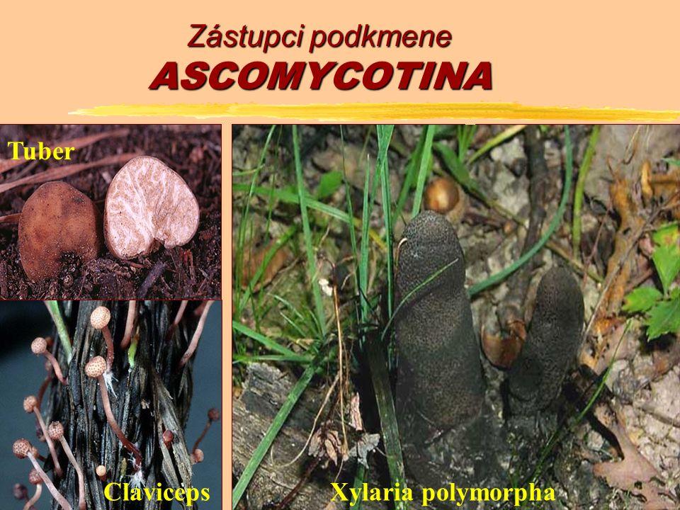 Zástupci podkmene ASCOMYCOTINA SaccharomycesAspergillus Penicillium Erysiphe Gyromitra MorchellaPeziza Tuber Claviceps Xylaria polymorpha