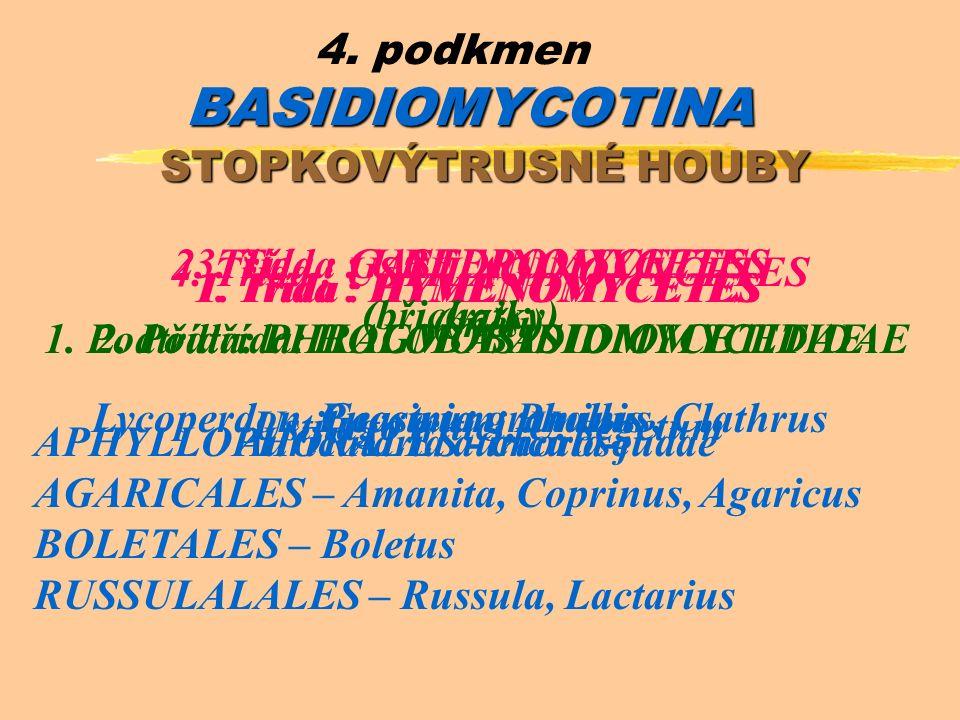 BASIDIOMYCOTINA 4. podkmen BASIDIOMYCOTINA STOPKOVÝTRUSNÉ HOUBY 1.