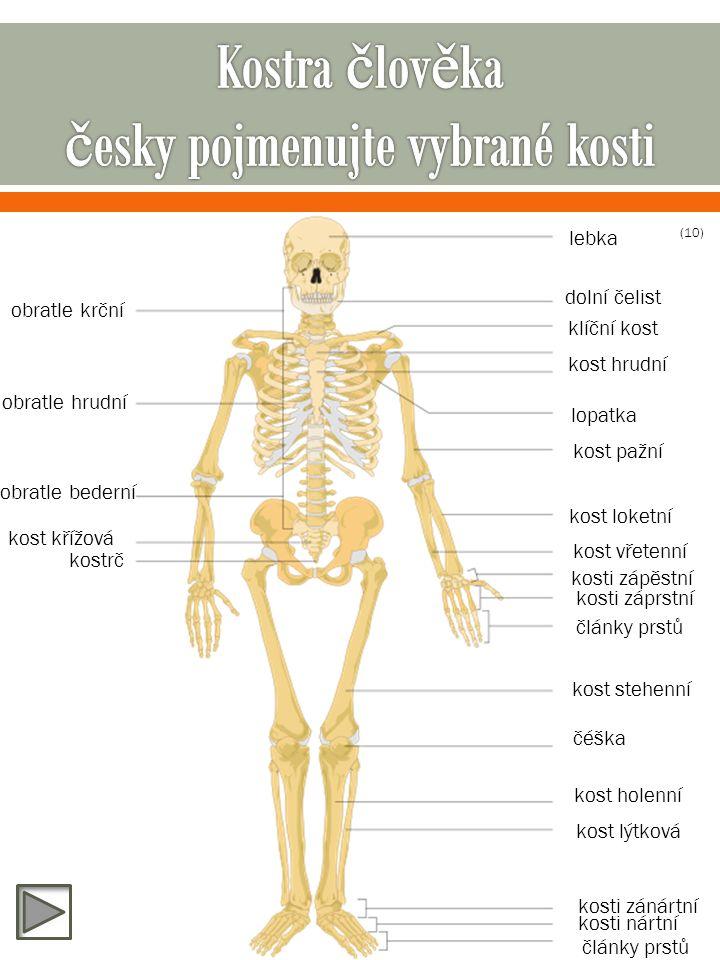 lebka dolní čelist obratle krční obratle hrudní obratle bederní kost křížová kostrč klíční kost kost hrudní lopatka kost pažní kost loketní kost vřetenní kosti zápěstní kosti záprstní články prstů kost stehenní čéška kost holenní kost lýtková kosti zánártní kosti nártní články prstů (10)