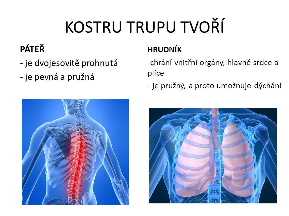 KOSTRU TRUPU TVOŘÍ PÁTEŘ - je dvojesovitě prohnutá - je pevná a pružná HRUDNÍK -chrání vnitřní orgány, hlavně srdce a plíce - je pružný, a proto umožnuje dýchání