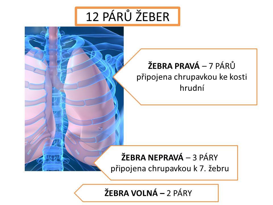 ŽEBRA PRAVÁ – 7 PÁRŮ připojena chrupavkou ke kosti hrudní ŽEBRA NEPRAVÁ – 3 PÁRY připojena chrupavkou k 7.